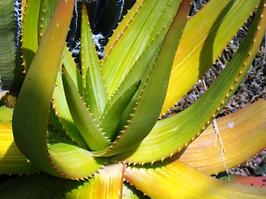 Aloe gariepensis, the yellow flowering form