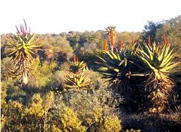 Aloe ferox covering a large terrain