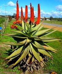 Aloe ferox by the roadside.png