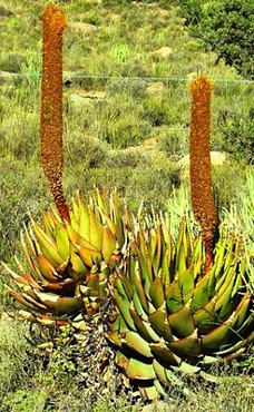 Aloe broomii leaves.png