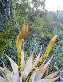 Aloe microstigma in habitat