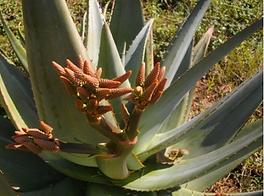 Aloe marlothii (or hybrid) inflorescence