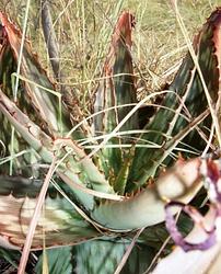 Aloe greatheadii.png