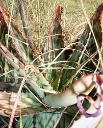 Aloe greatheadii