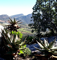 Aloe perfoliata on a rock with a view