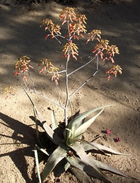 Aloe chabaudii.png