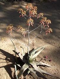 Aloe chabaudii