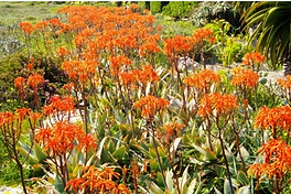 Aloe maculata X striata hybrid