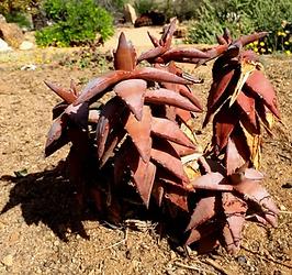 Aloe pearsonii red flowers