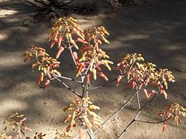 Aloe chabaudii inflorescence
