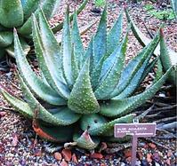 Aloe aculeata in the Royal Botanical Gar