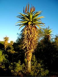 Aloe ferox in the Rooiberg.png