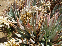 Aloe claviflora club-shaped flowers