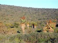 Aloe ferox covering a large terrain.png