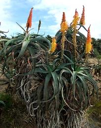 Aloe africana