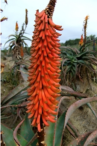 Aloe africana raceme of buds.png