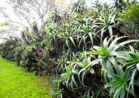 Aloe arborescens hedge.png