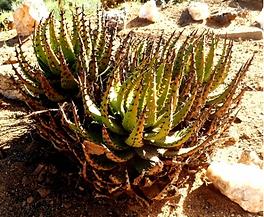 Aloe melanacantha young leaf rosette