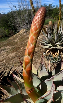 Aloe glauca floral bracts and leaves.png