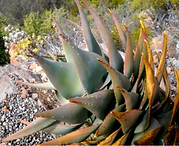 Aloe comptonii leaves - Large.png