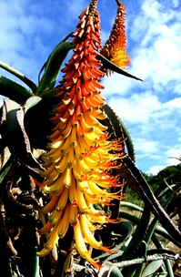 Aloe africana up-curved perianths.png