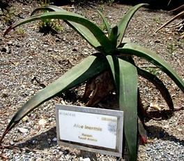 Aloe inermis