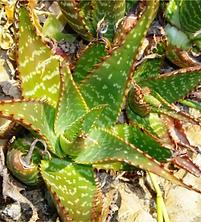 Aloe grandidentata leaf rosette.png