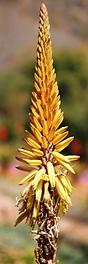 Aloe vanbalenii changing colour