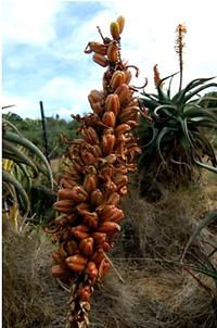 Aloe africana fruit.png
