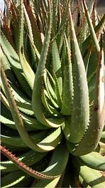 Aloe khamiesensis rosette and dry leaves