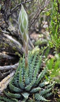 Aloe humilis budding inflorescence.png