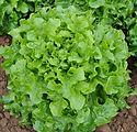 lettuceflorence2b.jfif