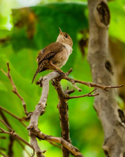 Have you ever heard a #Housewren sing_ I