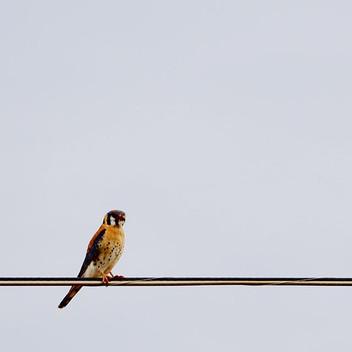 #americankestrel #calvarealism #birdnerd