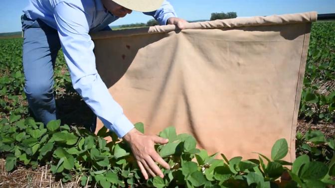 O velho e bom pano de batida como ferramenta essencial no manejo de pragas da soja