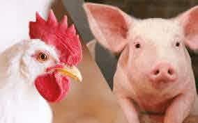 Avicultura e suinocultura: passado, presente e futuro