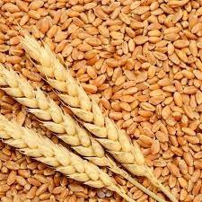 Plantio de trigo triplica em  1 semana no Paraná com chuvas, diz Deral.