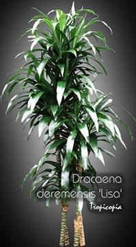 dracaena deremensis lisa 14 543