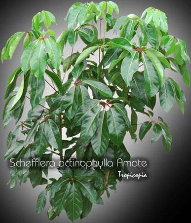 schefflera actinophylla amate 14