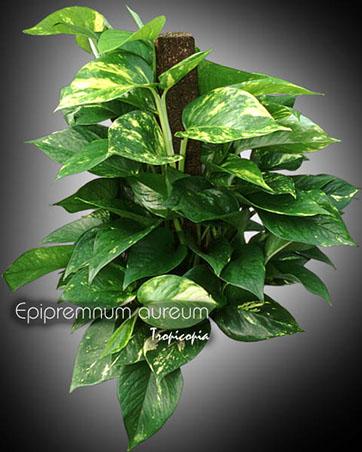 epipremnum aureum 06 po