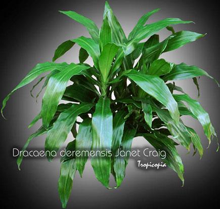dracaena deremensis janet craig 08 bu