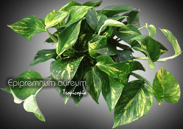 epipremnum aureum 06