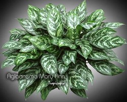 aglaonema mary ann 10