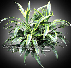dracaena deremensis gold star 10 bu