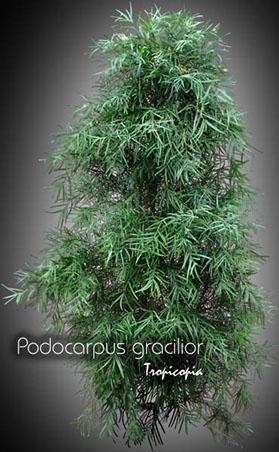 podocarpus gracilior 14 py