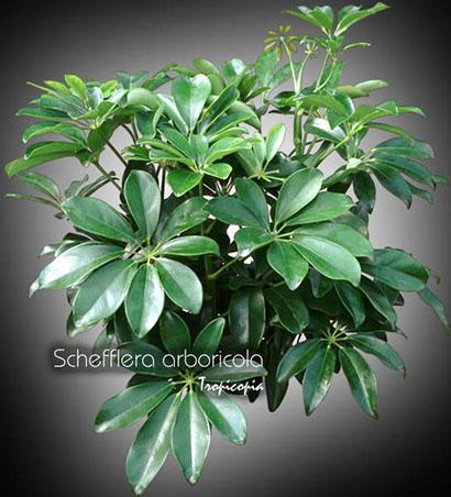 schefflera arboricola 06 bu
