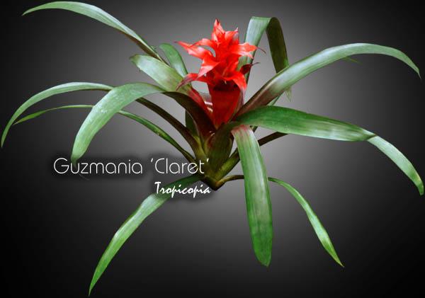 guzmania claret 04