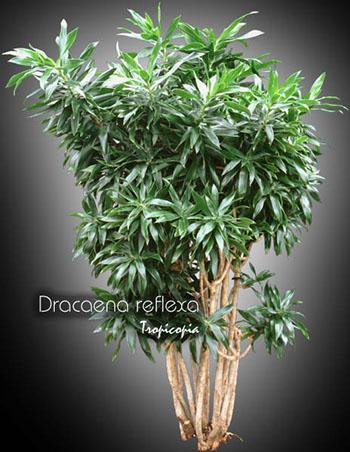 dracaena reflexa 14 ml
