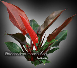 philodendron imperial red 06