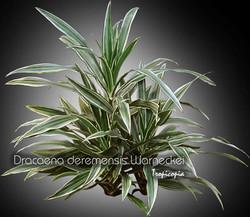 dracaena deremensis warneckei 10 bu
